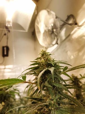 coltivazione indoor cbd cannabis light