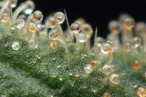 CBD Oil Cannabis Light Swey! indoor