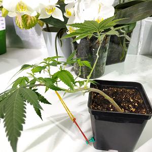 bonsai cannabis light